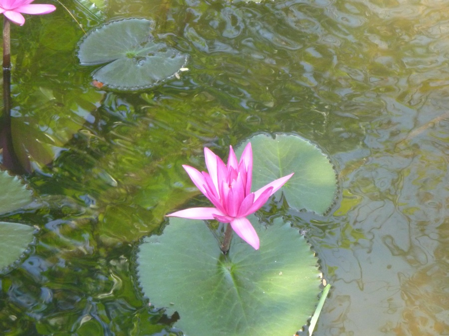 lotus, flower, water lily, lake, green leaf, herb, pink