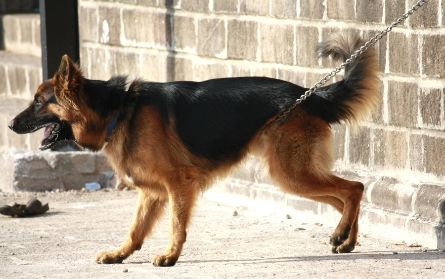 german shephard, canine, animal, dog, pet