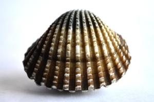 Coquillage, mollusque, nature morte, détail, macro