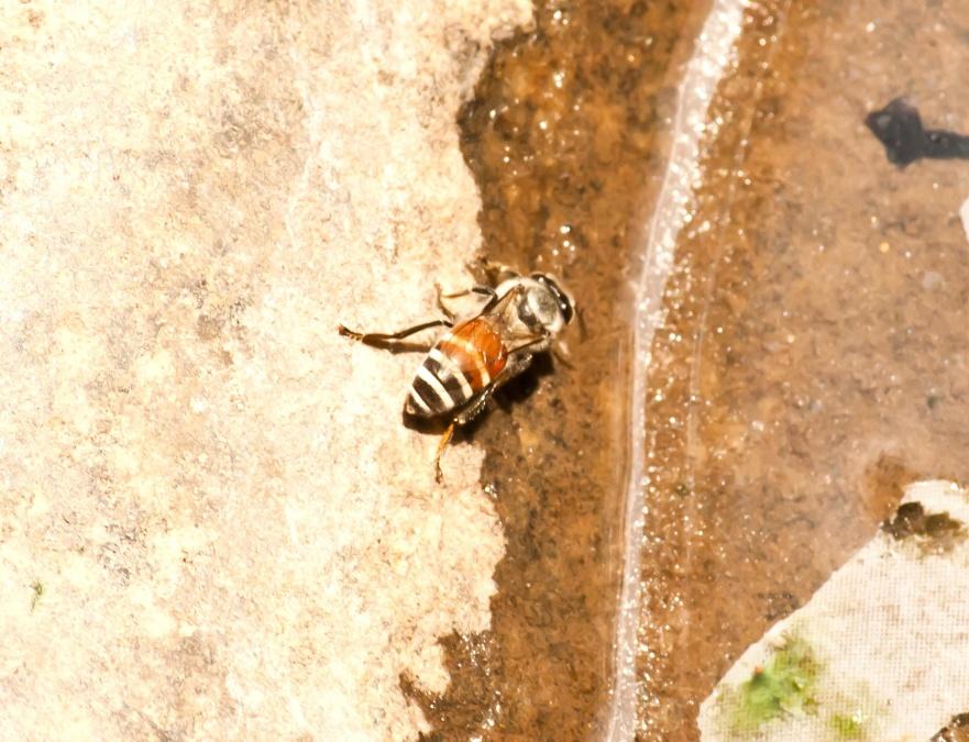 insect, honey bee, arthropod