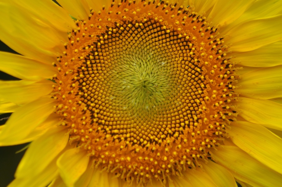 sunflower, detail, macro, sunflower, flower, blossom