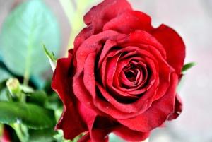 Rosa roja, ramo, flor