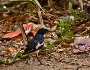 svart fugl, fugler, kråke, skitt