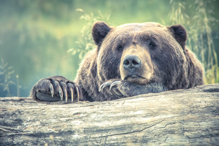 brown bear, forest, carnivore, animal