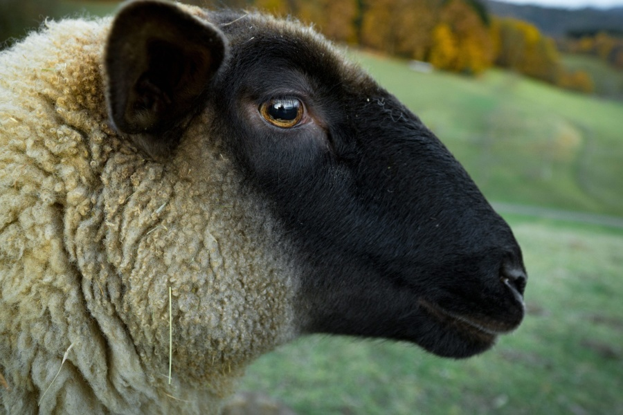 animal, sheep, farm, eye, head, wool