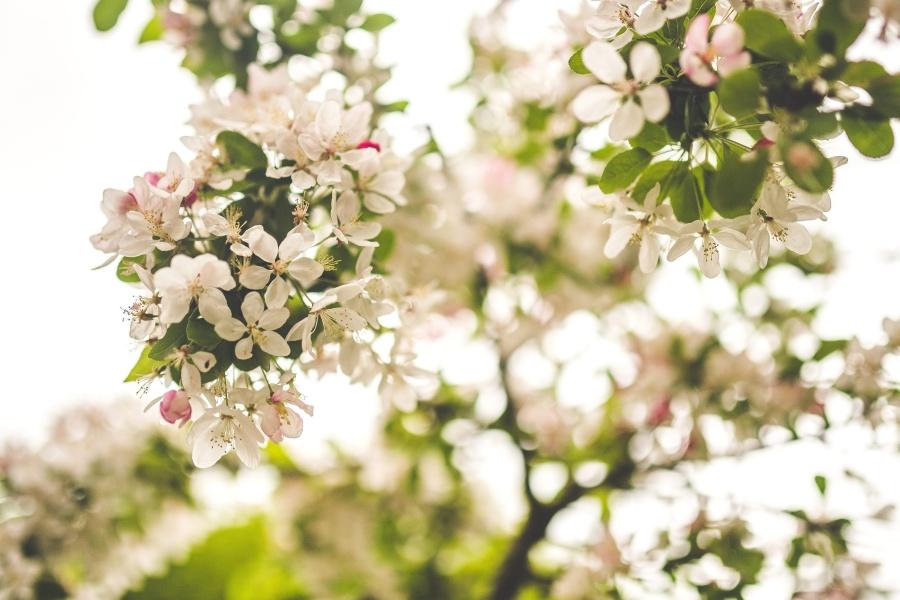 white, petal, branch, flower, tree, spring time