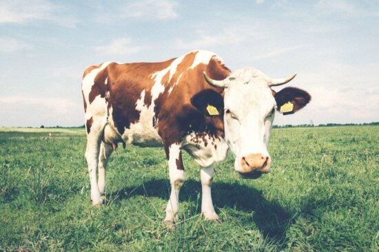 animal, meadow, cow, field, cattle, farm, bovine, ranch, pasture, grass
