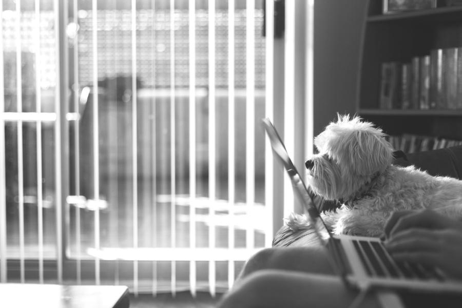 animal, pet, laptop computer, dog, interior