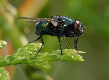 makro, insekt, leaf, detaljer, forvandle