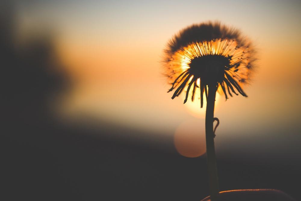 silhouette, dandelion, sun, flower, herb, plant, silhouette