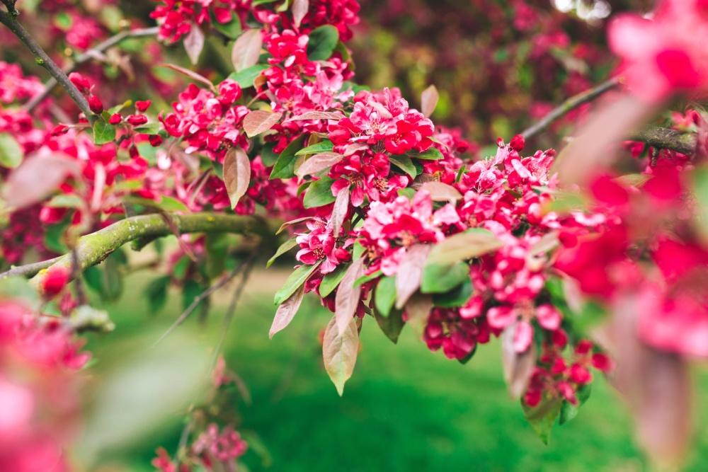 pink, flower, shrub, begetation, herb, petal