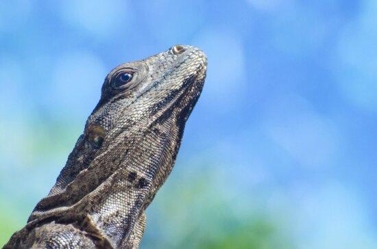 iguana, lizard, head, reprile, animal, blue sky