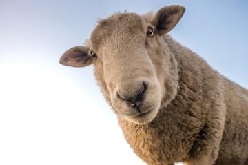 Curioso, ovejas, cielo azul, animal, cabeza