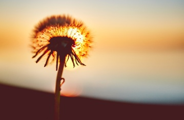 sunset, flower, shadow, dandelion, dusk, summer, herb, evening