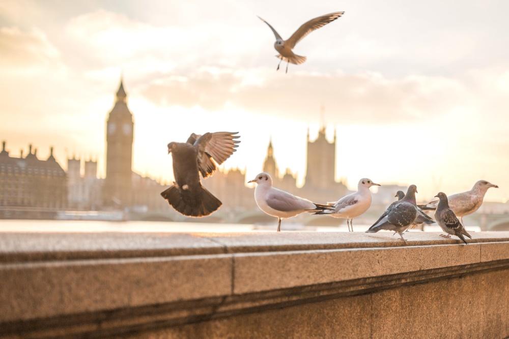 sunset, downtown, bird, seagull, pigeon