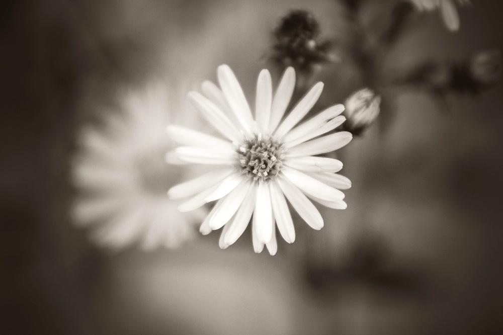 flower, daisy, leaf, plant, petal, monochrome