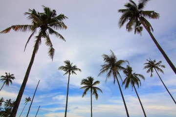 palm tree, blue sky, coconut, palm