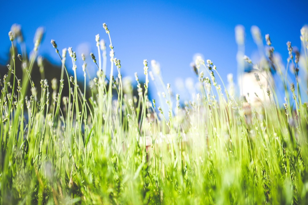 herb, field, grass, summer, plant, sky, meadow
