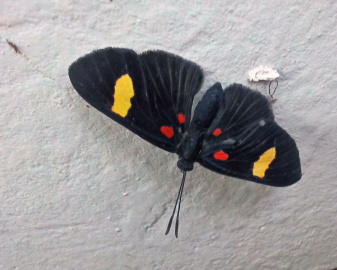 black, butterfly, insect