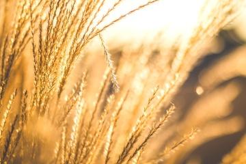 Sonnenschein, Weizen, Getreide, Feld, Landwirtschaft, ländlich, Kraut