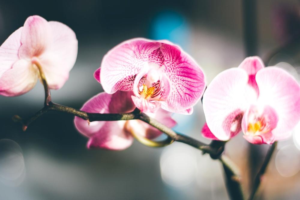 flower, orchid, pink, petal, blossom, pollen, pistil, plant