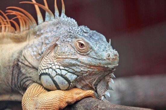 animal, reptile, lizard, iguana, colorful