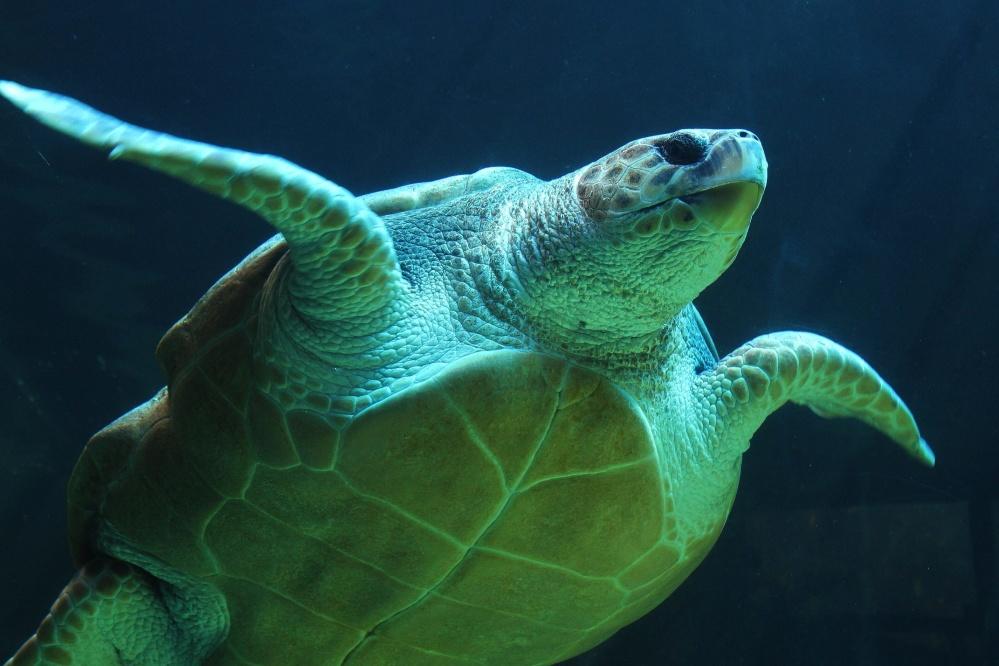 debaixo d'água, mar, tartaruga, Cabeçudas, réptil