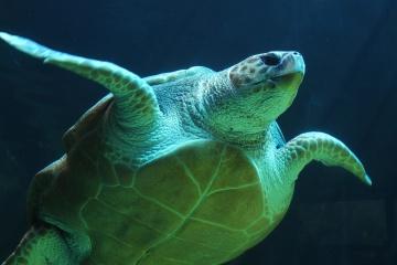 di bawah air, laut, penyu, tempayan, reptil