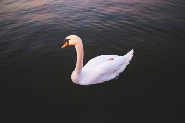 Cisne blanco, agua, cisne, pájaro, pluma, pico