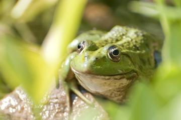 green frog, amphibian, frog, reptile, macro
