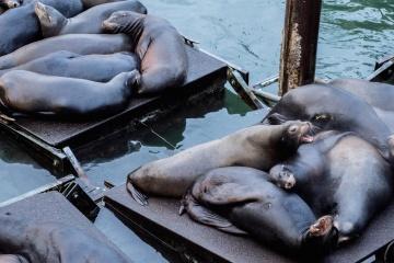 oroszlánfóka, a tenger, a víz, a állat, a kikötő