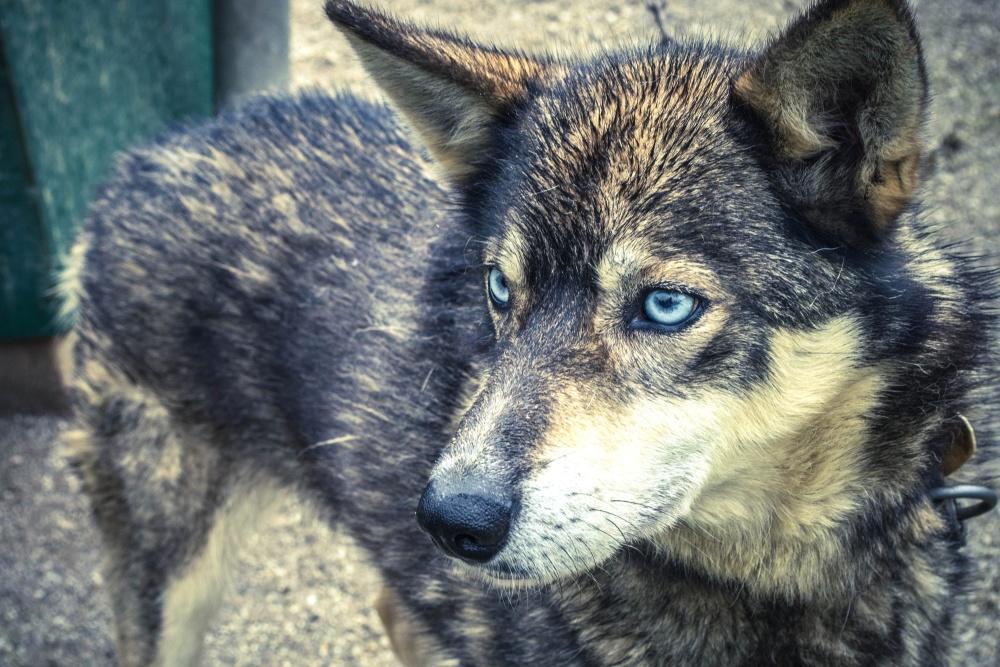 dog, animal, pet, fur, predator