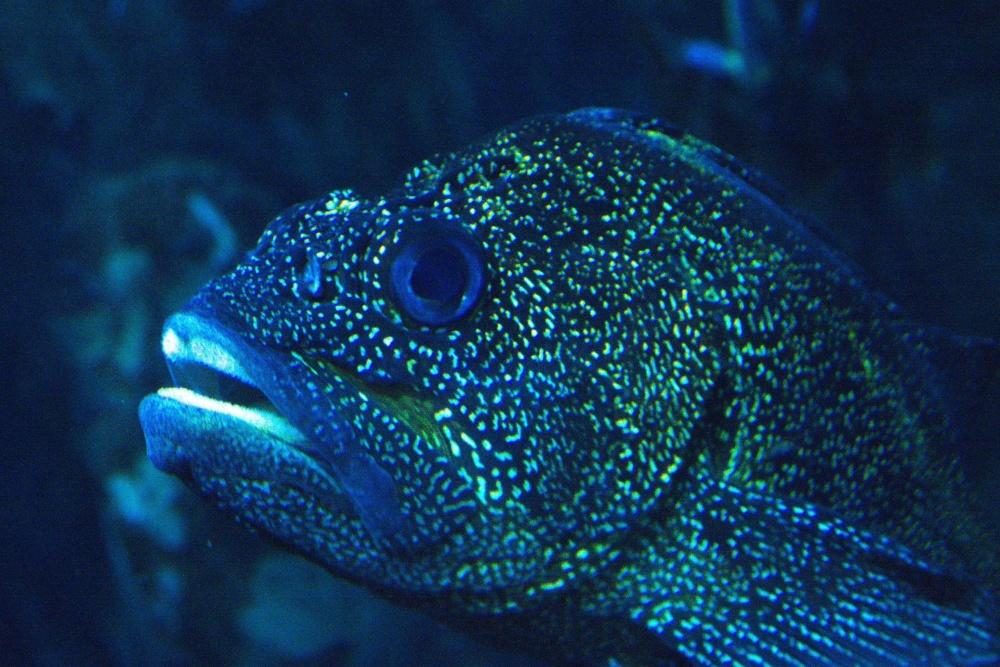 toxic fish, underwater, fish, saltwater fish, water