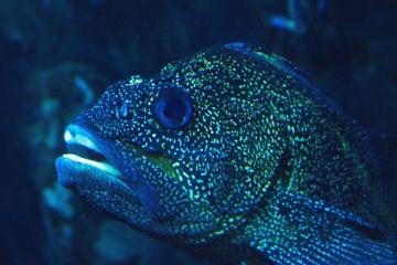токсични риба, подводни, риби, морски риби, вода