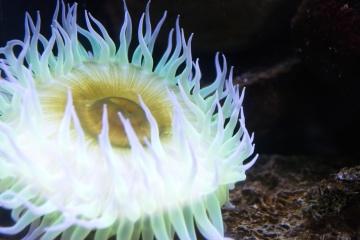 Zawilec, bezkręgowców, podwodne, rafa, Koral