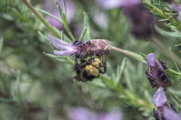 bumblebee, insect, branch, flower