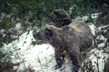 bear, wildlife, animal, winter, snow