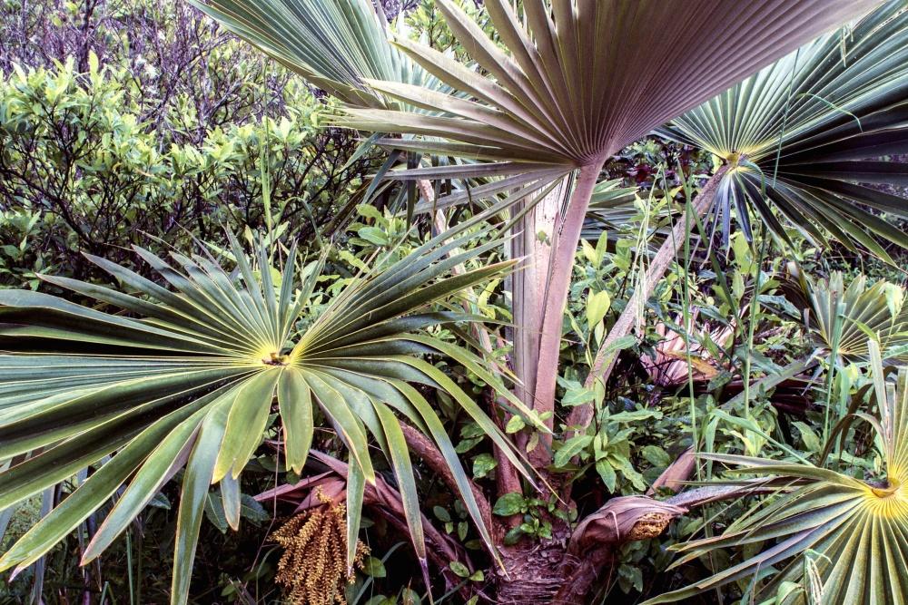 Palmier, buisson, cocotier, jardin, feuilles vertes