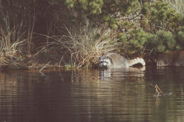raccoon, water, river, wildlife, swamp, reflection, nature