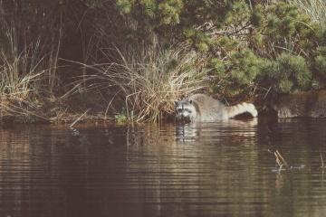 vaskebjørn, vand, floden, dyreliv, sump, refleksion, arten