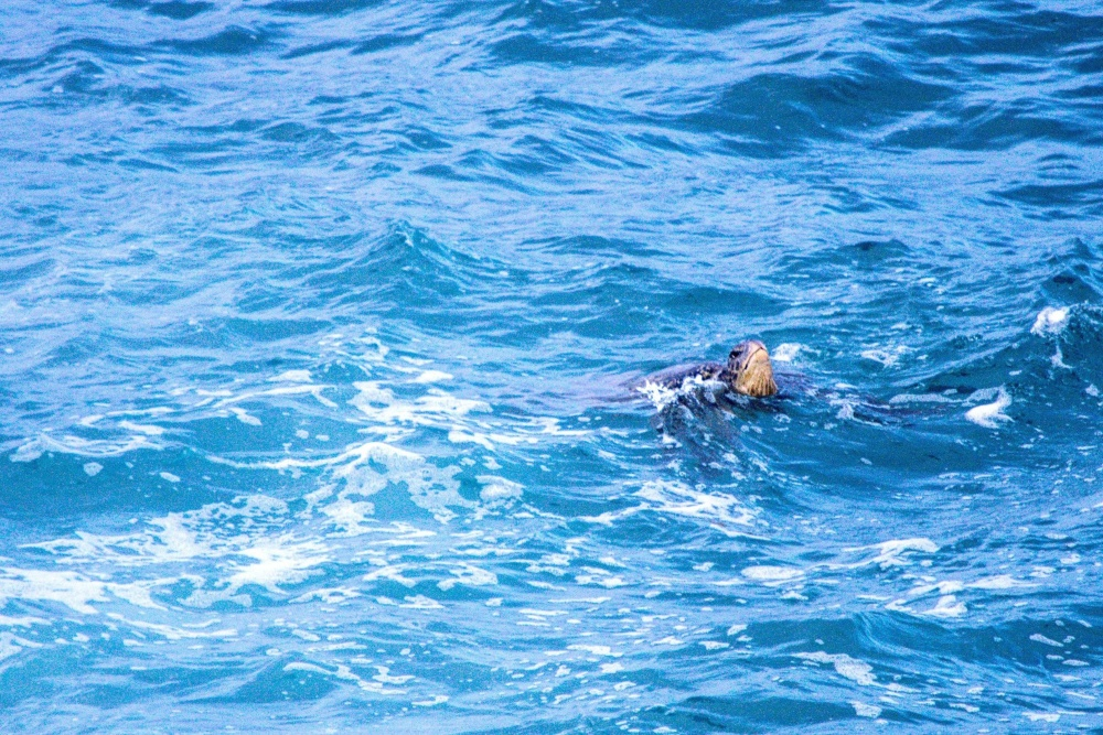 kornjača, glava, voda, oceana, priroda, gmaz, pod vodom