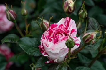 ružový kvet ruže, list, príroda, lupienok, flora, Záhrada, ker, rastlín