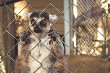 lemur, cage, animal, fence, monkey, primate