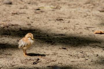 chicken, bird, wildlife, animal, poultry