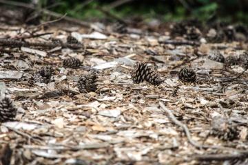 pine tree, seed, nature, soil, ground, dirt