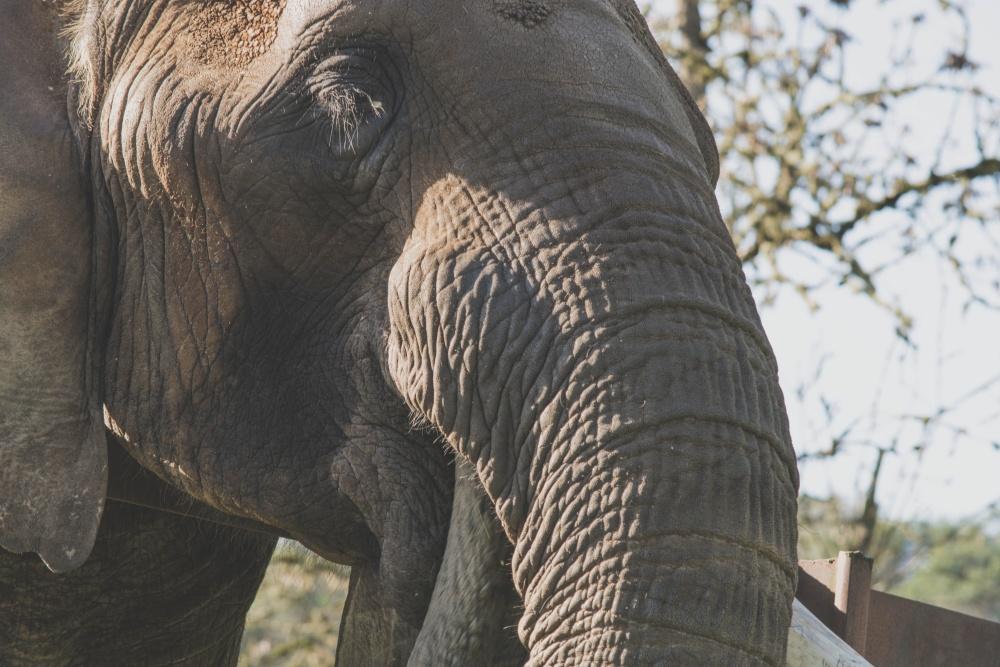 Majestic, слон, багажника, природа, дива природа, големия, животно, Африка