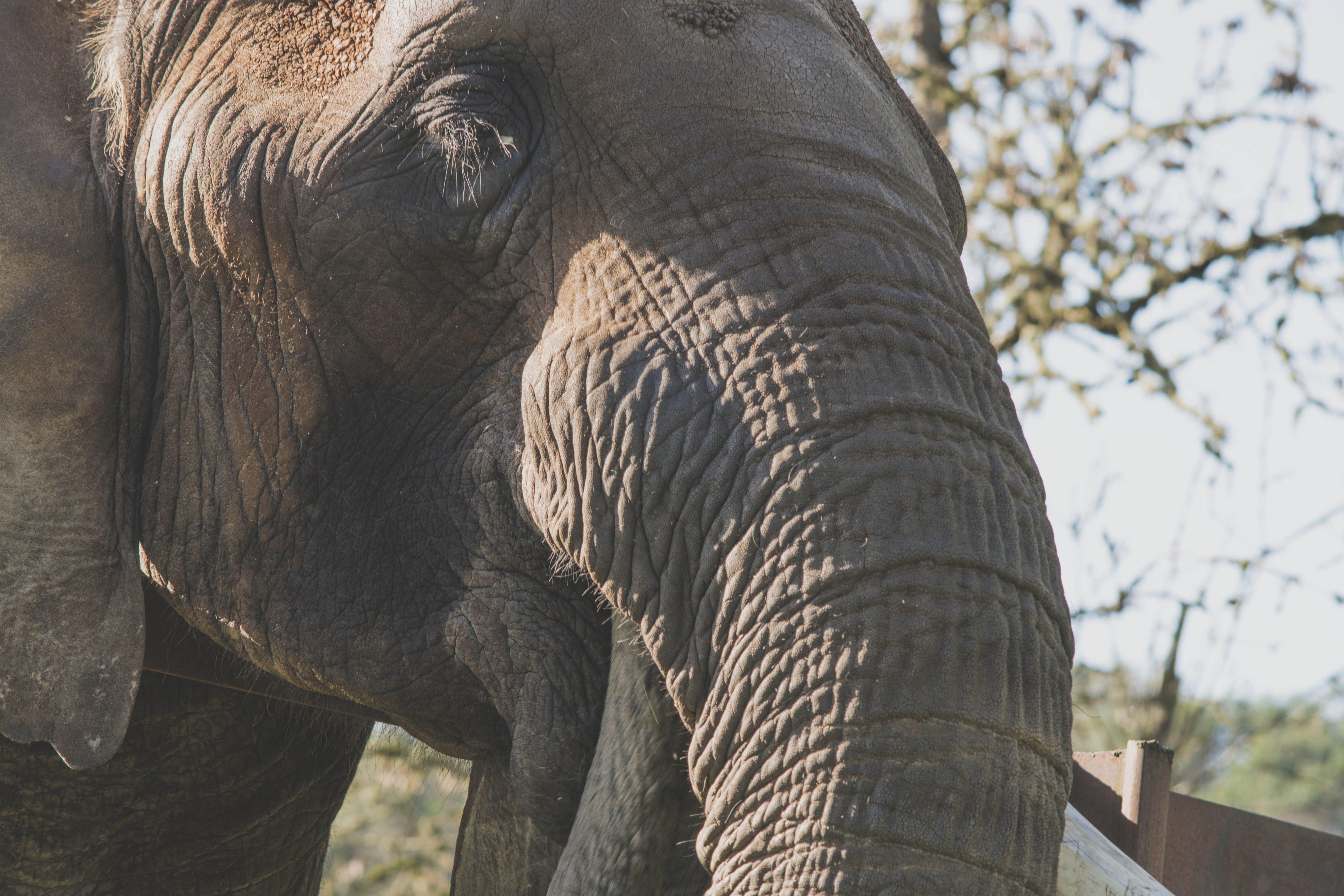 ... Majestic, Elephant, Trunk, Nature, Wildlife, Big, Animal, Africa