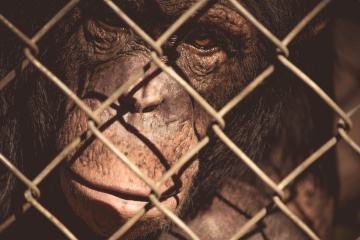 monyet, kandang, pagar, penjara, potret, kebun binatang, orangutan