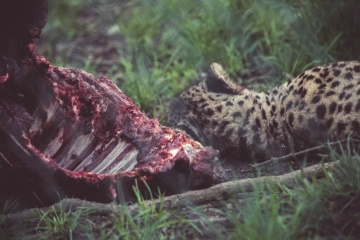 jaguar, animal, wildlife, meat, hunt, Africa, nature, grass, wildlife, leopard