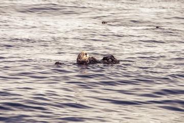 Mer, loutre, eau, humide, océan, animal, rongeur